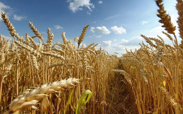 Dry Golden Wheat Field Blue Sky HD Wallpaper