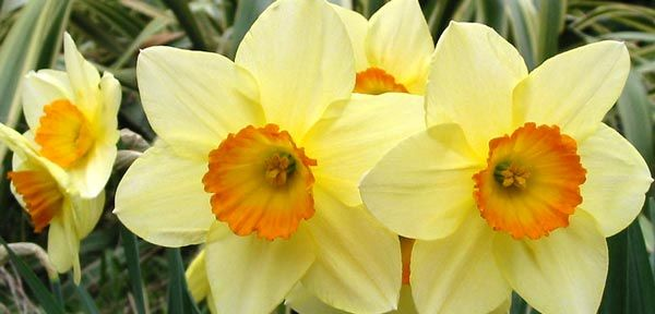 daffodils | Sustainable Destinations: Planting Daffodils