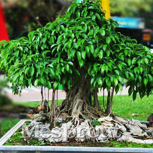 De bodhiboom (Ficus religiosa) is familie van de vijg en de moerbei. In zijn Zuid-oost Azië wordt hij 30 meter hoog met een stamdoorsnede van 3 meter en een uitgebreid stelsel aan luchtwortels. Onder deze boom, de 'bodhi' heeft Boeddha zijn verlichting bereikt.  Net als veel andere Ficussoorten leent hij zich goed voor vorming als bonsai-plant.