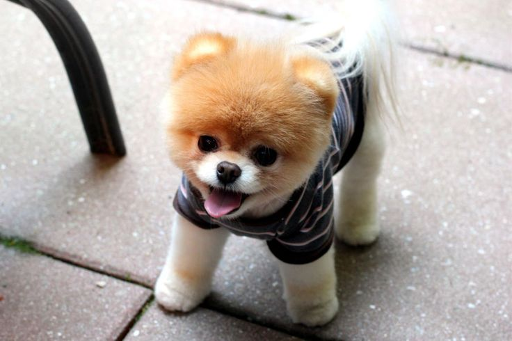 Boo World Cute Dog - See more cute puppy pictures and dog training tips at TrainMyPuppies.com