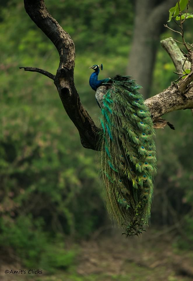 The Indian Peafowl - National Bird of India. How lovely would Parvati's hair be if it was like that?!?!