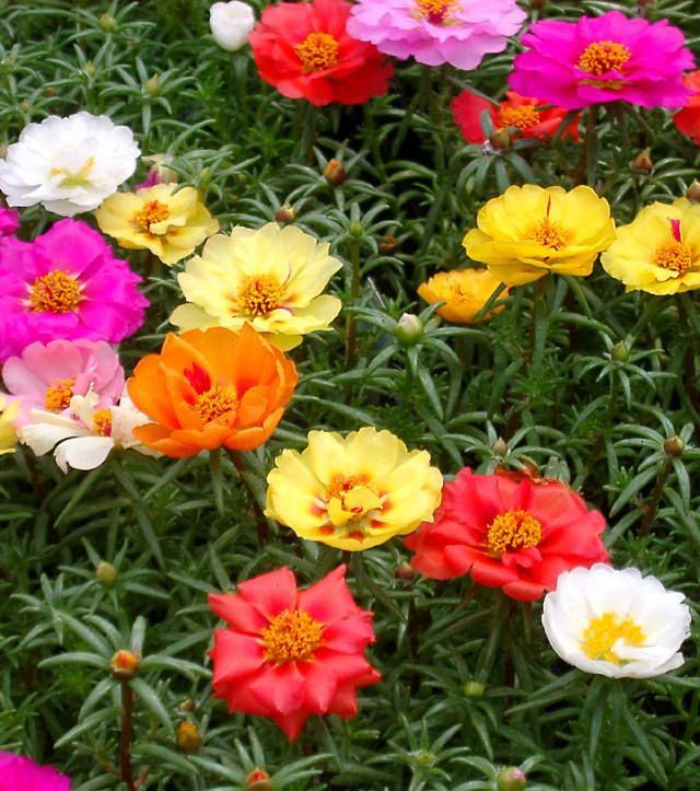 Portulaca - plant in rose garden. Easy to grow. Likes lots of sun. Planted two years now.