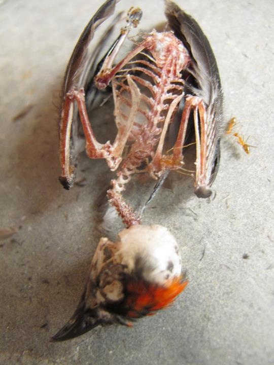Baby bird skeleton