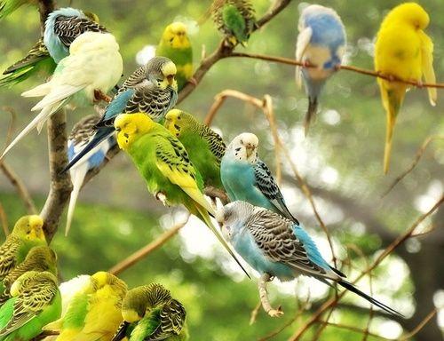 budgerigars  (photo by halex)