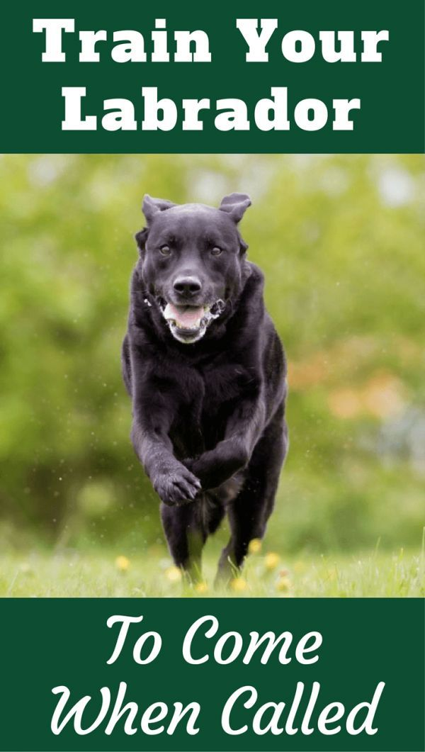 Recall How To Train Your Labrador To Come Back When Called