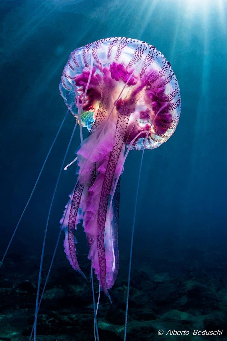 Big purple jellyfish! #underwater #jellyfish #animals