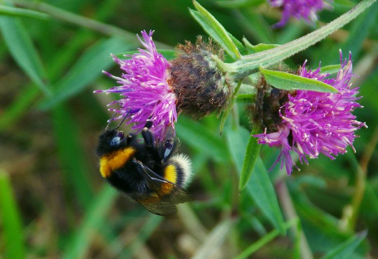 A bumble bee in the #Killarney National Park, #Ireland :)