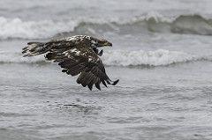 Juvenile bald eagle in flight....1 of 2 in set