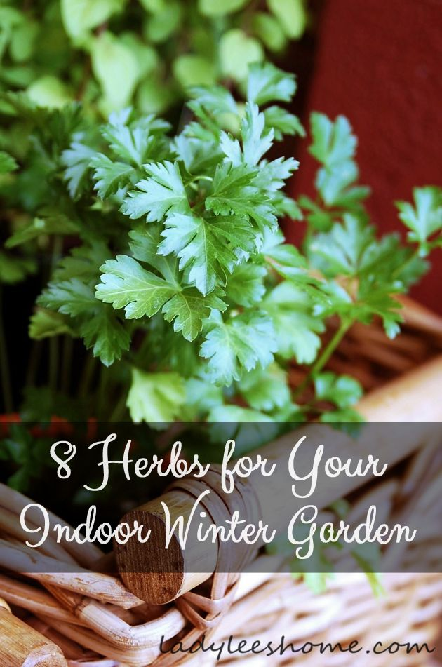 How to Start an Indoor Herb Garden (that will produce all winter long) The 8 herbs are parsley, cilantro, thyme, rosemary, chives, oregano, lemon balm, and mint. Excellent tips for growing each herb!