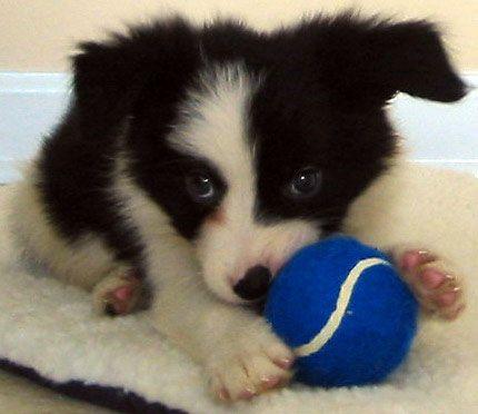 border collie puppy-- just a bit bashful...
