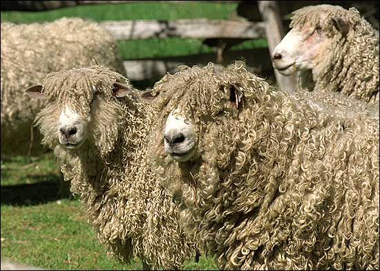 """Leicester Longwool Sheep  A long, healthy, lustrous coat which falls in ringlets, ease of feeding, valuable meat supply and quick maturation are the sheep's breed traits. Leicester (pronounced """"lester"""") Longwools originated in Britain and were used as a pioneer breed."""