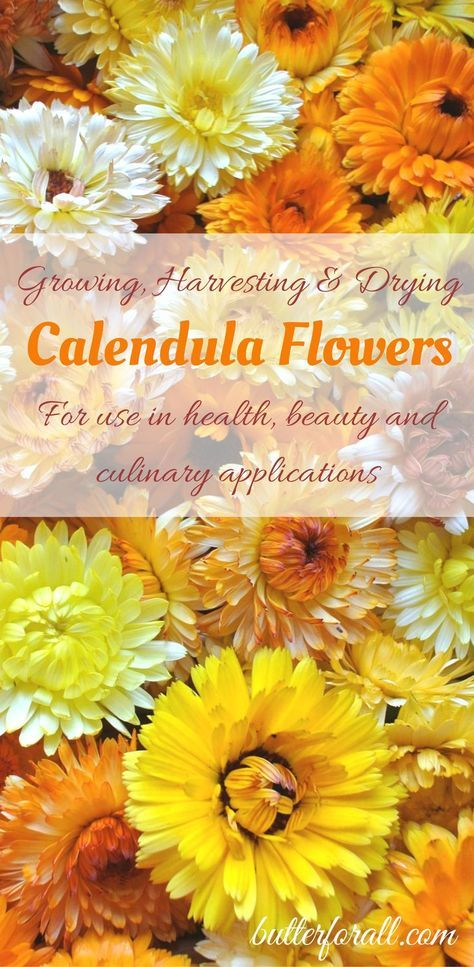 An easy guide to growing, harvesting and drying organic Calendula flowers. Click to visit the ButterForAll blog and learn how to grow and use your own Calendula.
