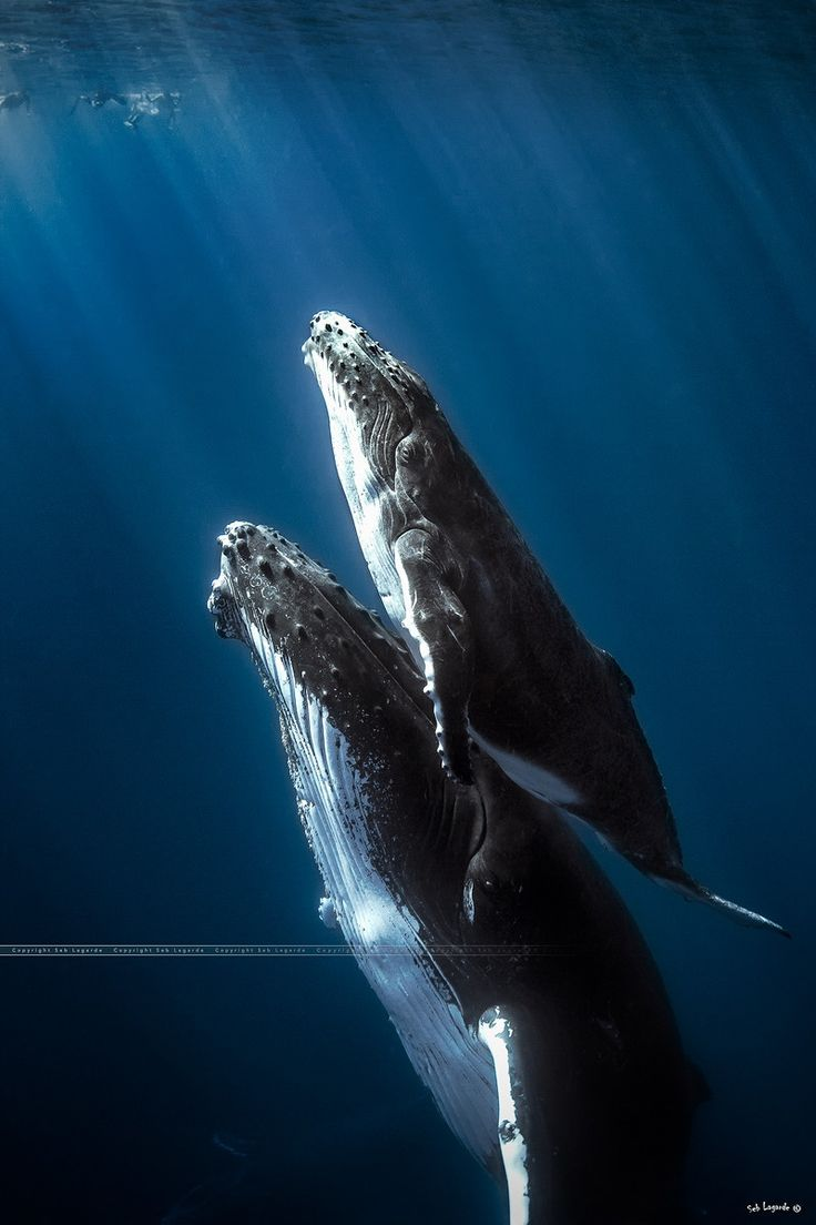 Humpback whale lifting her child to surface to breathe - Réunion island. by Seb  on 500px