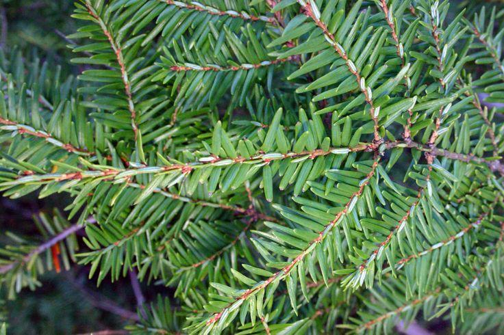 Medicinal plantseastern hemlock plant identification