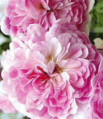 Rambler-Rose 'Paul's Himalayan Musk Rambler'