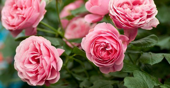 Rose: come coltivarle, potarle e riprodurle per talea (da una patata)