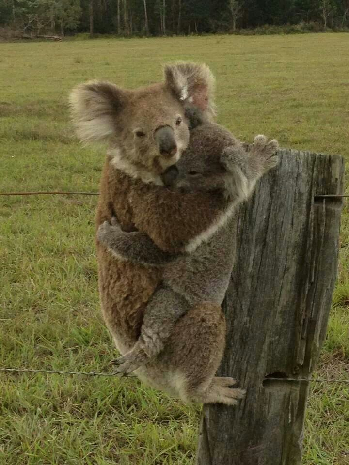Pin by Chen Ruiling on Koala | Australia animals, Koala ...