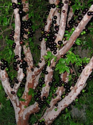 Jaboticaba fruit. This sounds really enticing