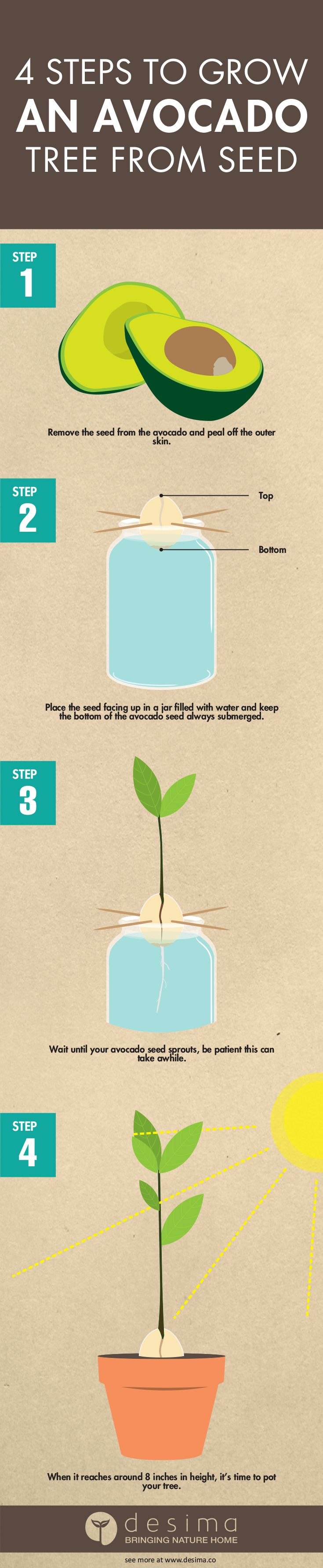 25 best ideas about avocado tree on pinterest growing for How do you grow an avocado seed