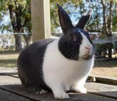The Dutch Rabbit care guide