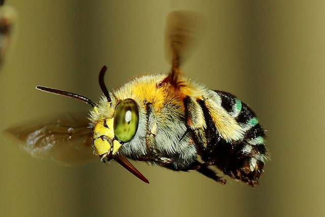 blue banded bee - Google Search