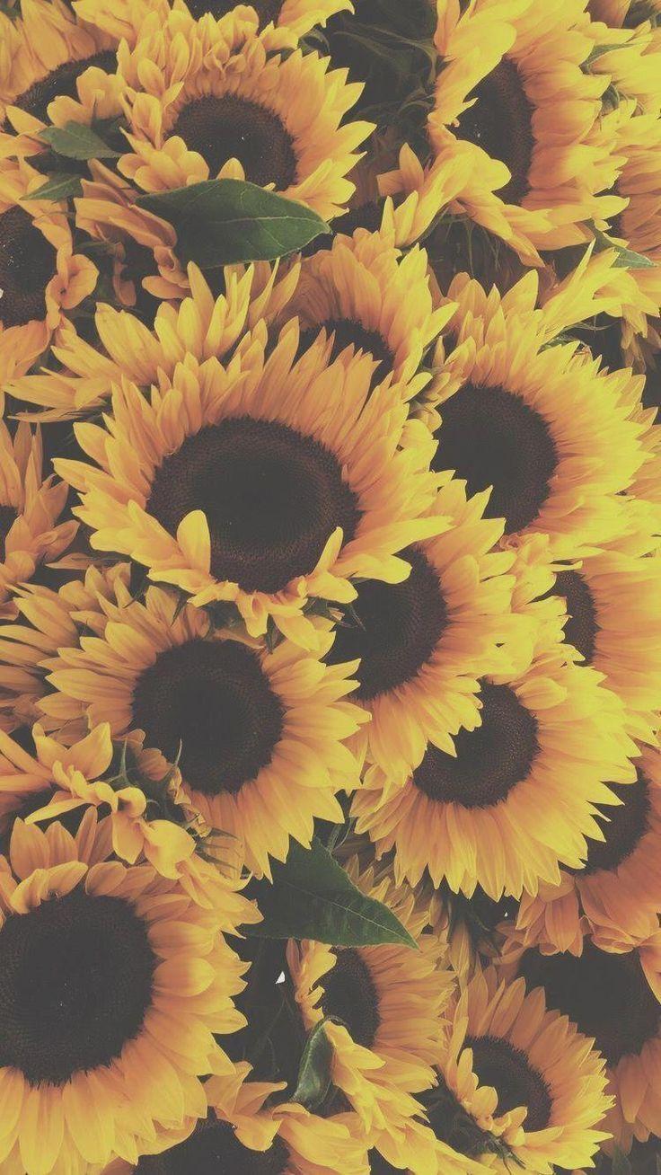 Yellowastheticwallpaperiphone Sunflower Background Sunflower