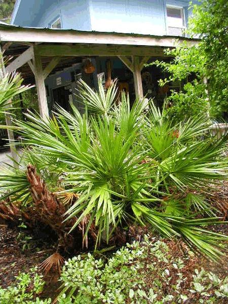 Green Saw Palmetto Florida Native Plants Nursery Palms Pinterest And