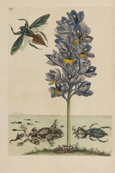 Maria Sibylla Merian, The Insects of Surinam, Amsterdam 1730