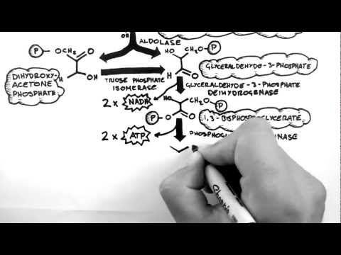 Handwritten Tutorials   Cellular Respiration 2 ...