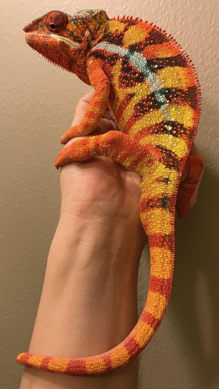 panther chameleon for sale online Chameleon pet
