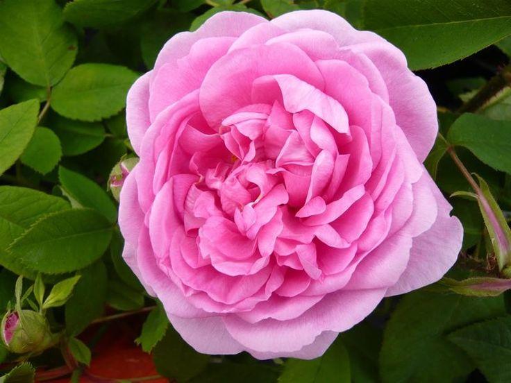 'Compte de Chambord ' | Modern Shrub Rose