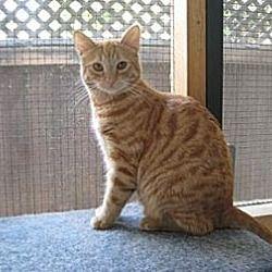 Sherman Oaks, California - Domestic Shorthair. Meet Poppy, a for adoption. https://www.adoptapet.com/pet/11649800-sherman-oaks-california-cat