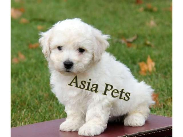 Bichon Frise Puppy Price In Kolkata Bichon Frise Puppy For Bichon