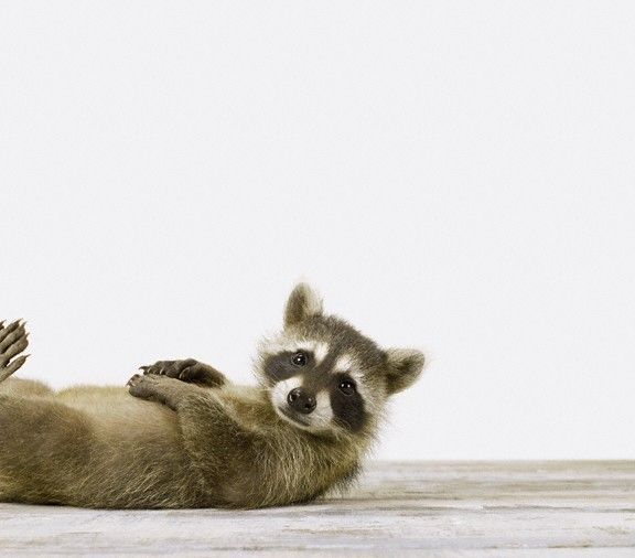 exercising Raccoon.