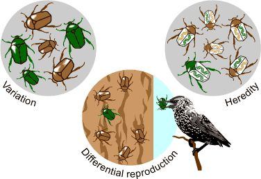 The components of natural selection: variation, differential reproduction, and heredity: teaching evolution resources from Berkeley