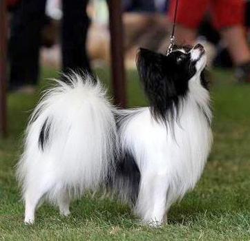 Epagneul nain Continental (77) (Continental Toy Spaniel) -  a) Papillon (with erect ears : 1,5 - 2,5 kg/2,5 - 4,5 kg) - France/Belgium