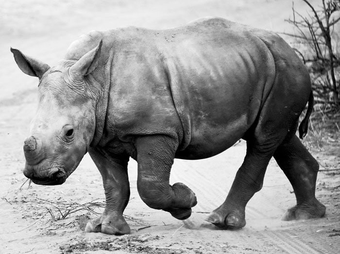 Africa Geographic, along with Leupold Binoculars, invite you to take part in our #WorldRhinoDay photographic competition - a celebration of rhinos in black and white.