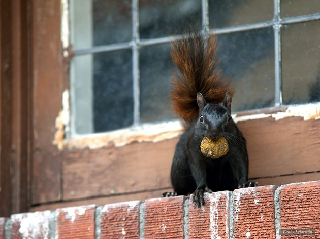 #photography #Canadian #black #squirrel #Toronto. ©Fanny Lelorrain