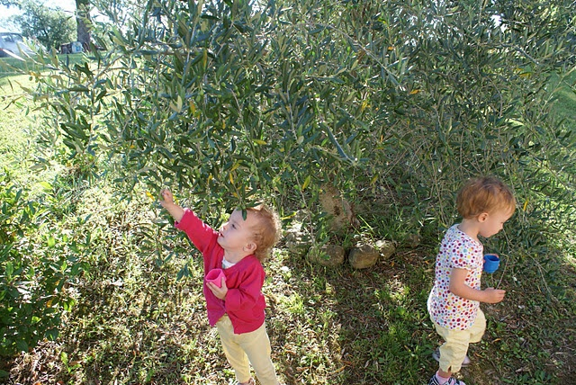 Marche is famous for its OIive Ascolane, fried olives stuffed with meat and other goodies. These two picked clean our olive trees. :(