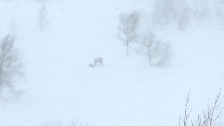 гифки-росомаха-(животное)-Олень-живность-3757811.gif (800×450)