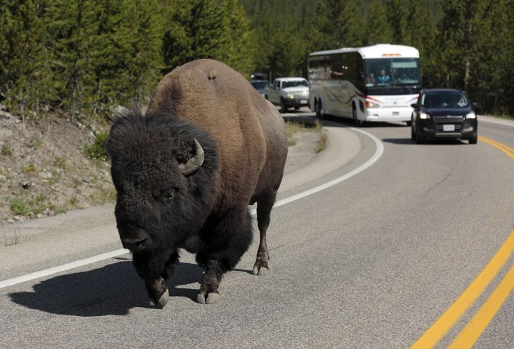 A bison lumbering down the highway near Madison Junction stalls traffic in Yellowstone National Park, where the giant animals have the right-of-way. Mark Boster / Los Angeles Times