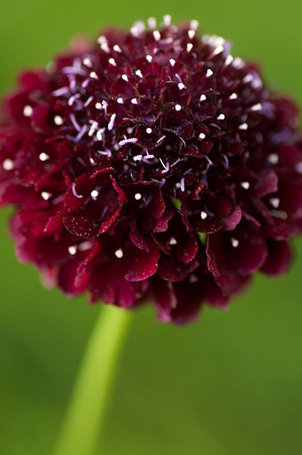 Black pincushion (I think to is an annual Scabiosa, although if there is a perennial now in this color, I need to know about it!)