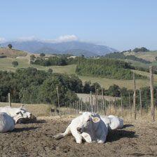 Happy cows at Valle Nuova - Green carbon neutral farm and accommodation Urbino Le Marche  www.vallenuova.it