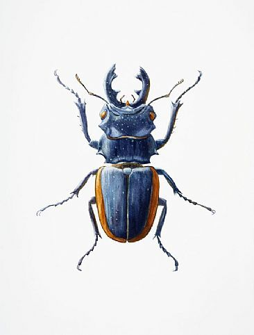 Small Stag Beetle - insect, stag beetle, beetle by Dinah Wells