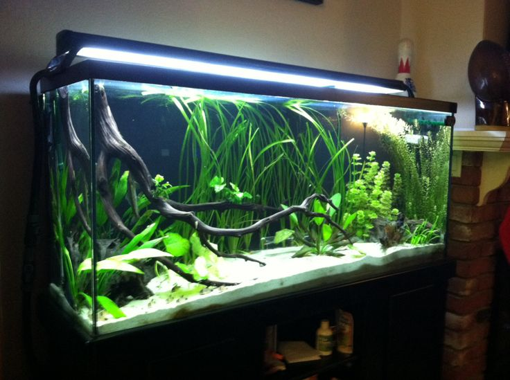 Low tech planted discus tank the planted tank forum for Planted tank fish