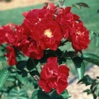 IMPROVED BLAZE This magnificent classic climbing rose can grace walls, fences and trellises. Blaze is so resilient its like a no maintenance rose, so you just plant it and enjoy it year after year!