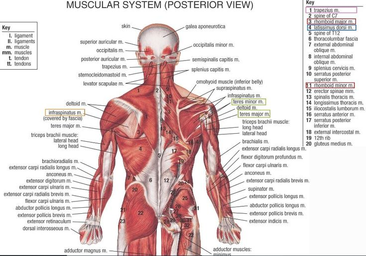 Human muscle anatomy posterior view in detail - www.anatomynote.com