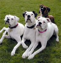 I love boxers.American Bulldogs, Boxer Dogs, Boxers Dogs, Dogs Breeds, Boxers Love, Beautiful, Backgrounds, Baby, White Boxers