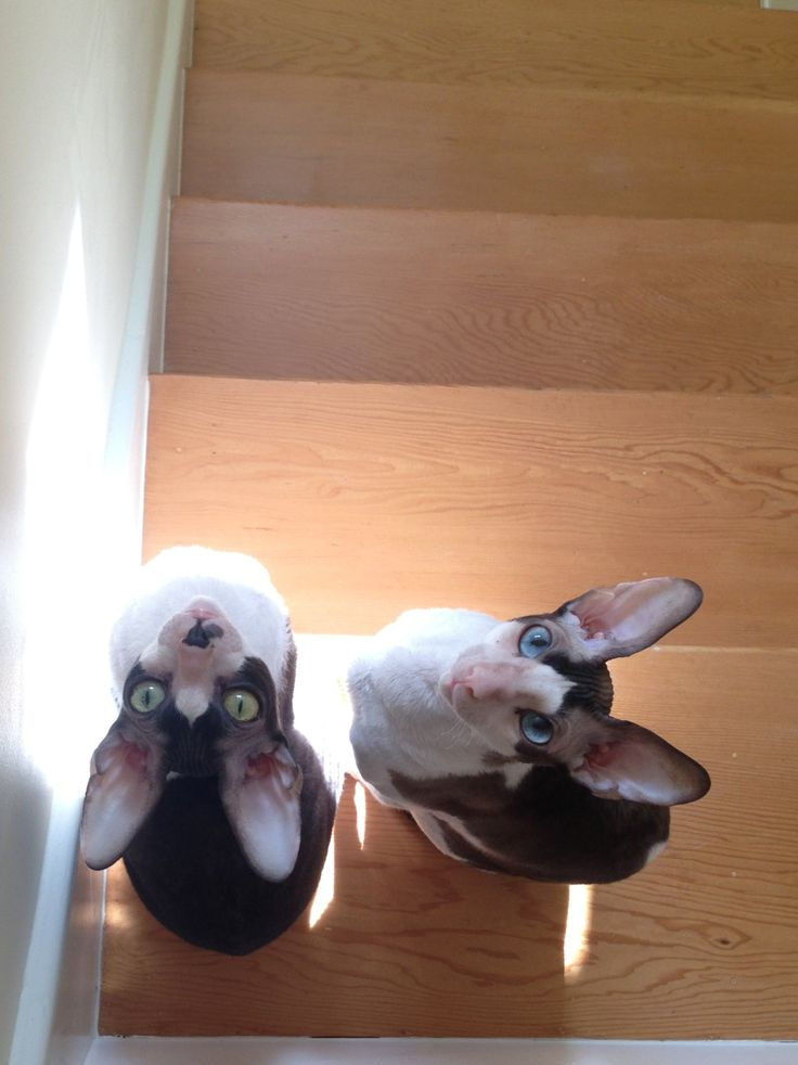 Our beautiful Cornish Rex boys, Topspin and Slice.
