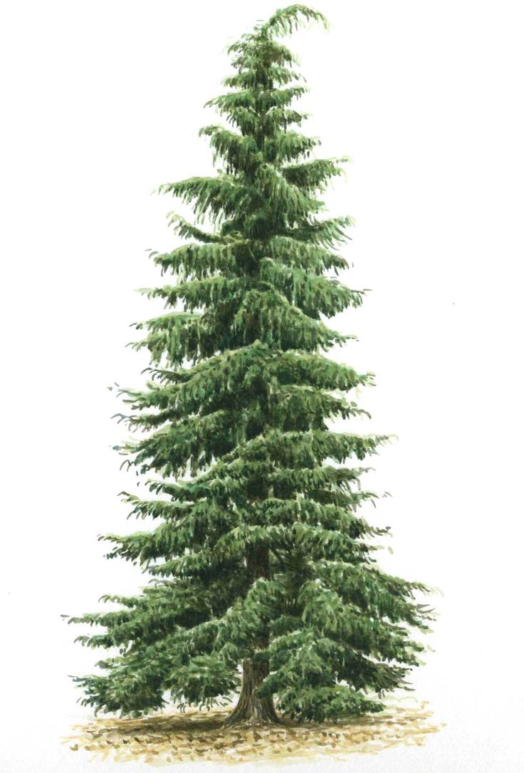 Canadian Pine Christmas Tree